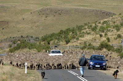 sheep crossing road in southern Tasmania