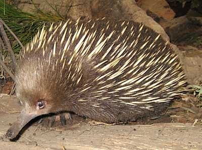 Friently echidna