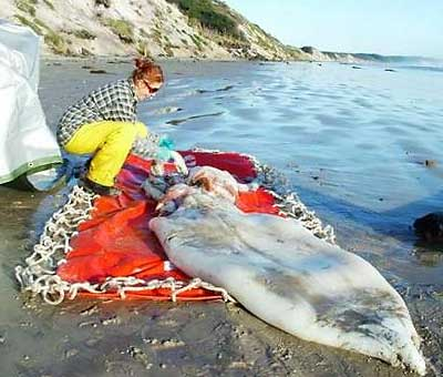 giant squid washed up