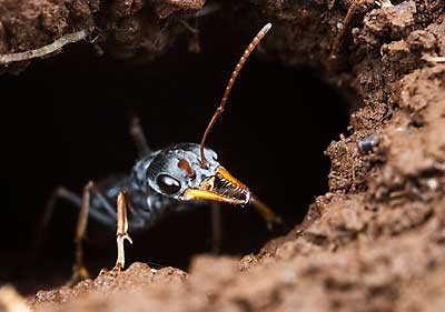Jack jumper ant guards nest