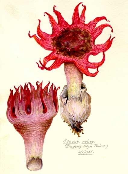fungi-aseroe.jpg